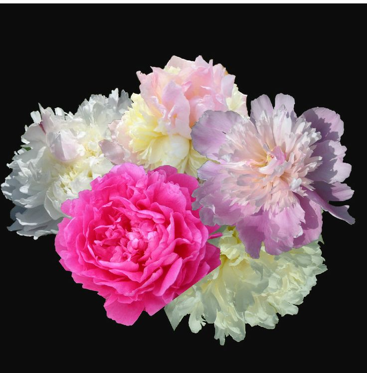 FRAGRANT PEONY COLLECTIONS AT PEONY FARM, can you just smell it?