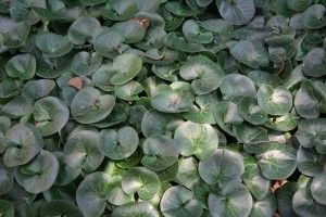 wild ginger- zone 4 perennial ground cover