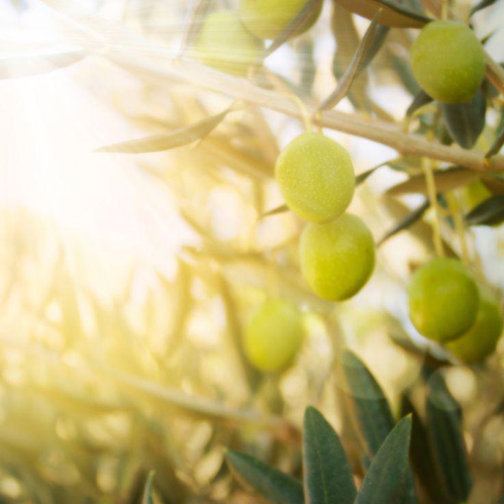 El origen de los olivos #Carbonell #Aceitedeoliva