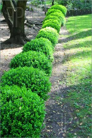 Japanese Boxwood. 4x4. Sun to shade.  kelly green, medium texture, evergreen foliage.  Traditionally sheared for a formal hedge.