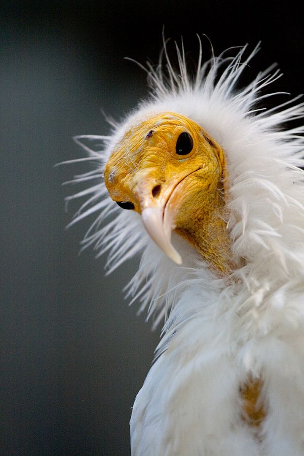little-petunia-in-an-onion-patch:  animals-animals-animals:  Egyptian Vulture (by DaKrunt)  (via TumbleOn)
