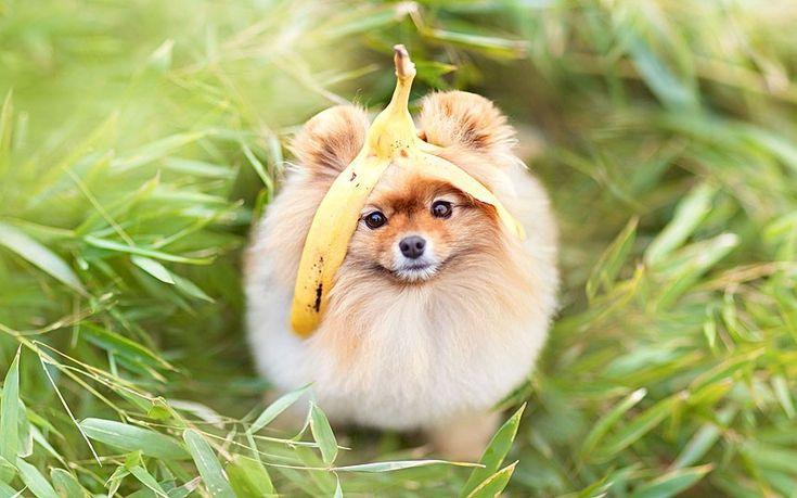 Картинка 858x536   Забавная картинка с померанским шпицем с кожуркой банана на голове   Животные, фото #картинки#фото#животные#собаки#шпиц#померанский_шпиц#приколы#милота
