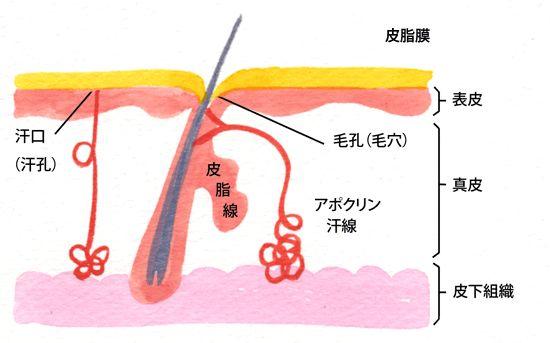 毛穴の皮脂腺から分泌された皮脂が汗などと混じり合い皮脂膜となります