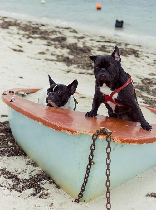 Good Morning America French Bulldog : Best animals images on pinterest