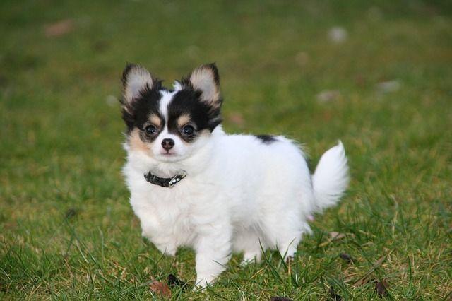 Chihuahua tricolor de pelo largo