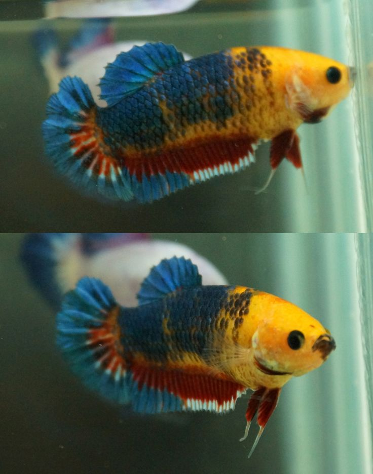 1912 best images about halfmoon plakats on pinterest for Female betta fish pictures