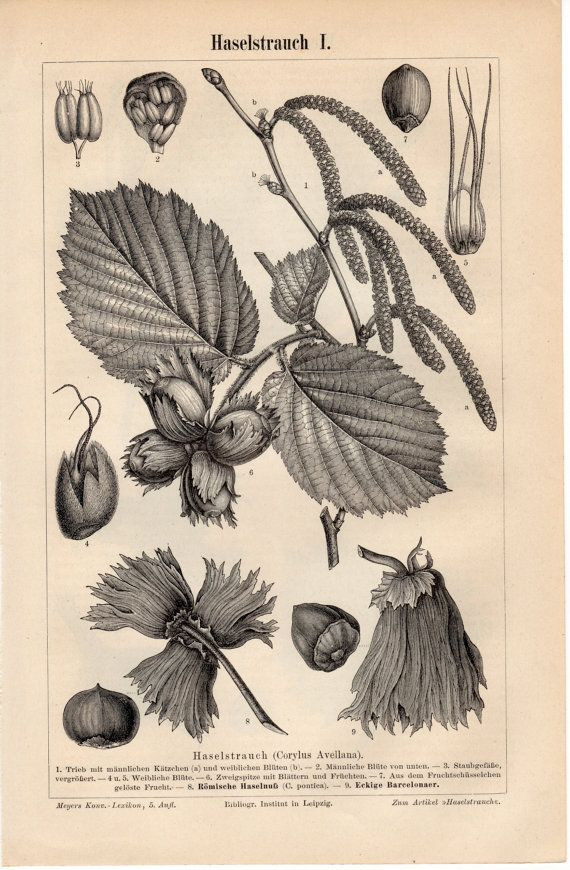 1895 Antique Botanical Print, Corylus avellana, Common Hazel, Hazelnut, Europe, British Isles, Iberia, Greece, Turkey, German Engraving