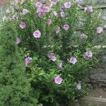 Rose Of Sharon Bush - Learn More About Growing Rose Of Sharon
