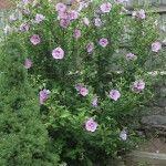 rose-of-sharon-shrub