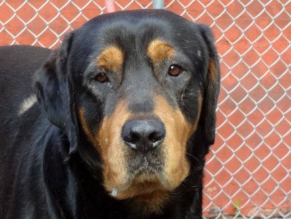 SAFE 5/26/13 Manhattan Center CLIDE - A0965372 MALE, BLACK, ROTTWEILER MIX, 2 yrs Found roaming the strs w/ Bonnie This gentle giant is calm, sociable, & likes to be caressed & talked too. Probably a yard doghe doesn't seem to mind dogs, people & kids saying hi. PLS help Bonny & Clide find a new home tonite  Tomorrow will be too late  fostered/adopted  https://www.facebook.com/photo.php?fbid=612333162112900=a.161896683823219.39456.152876678058553=1