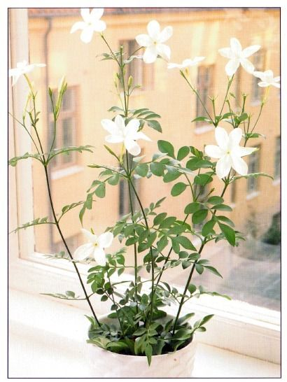 A fragrant addition to your garden.  Common White Jasmine – Jasminum officinale – is easy to care for.