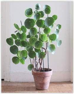 Na de cactus en sanseveria is deze plant nu de nieuwste trend voor in huis - HLN.be