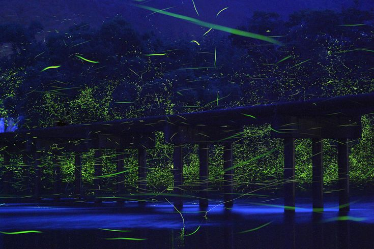 Long exposure photos of Genji botaru fireflies dancing around small bridge (10 pictures)