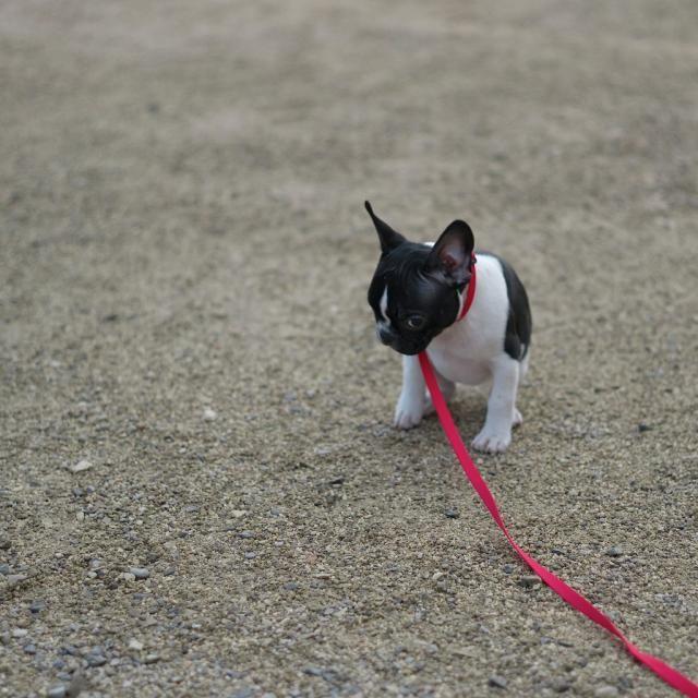 teacup french bulldog black - photo #32