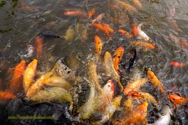 Ikan Hias di Kolam Taman Balekemambang