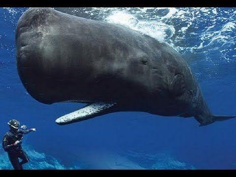 7 Ikan Paus Terbesar, ikan paus langka yang jarang ditemui orang. ikan paus merupakan ikan yang sangat besar yang dapat memakan manusia sekaligus. banya