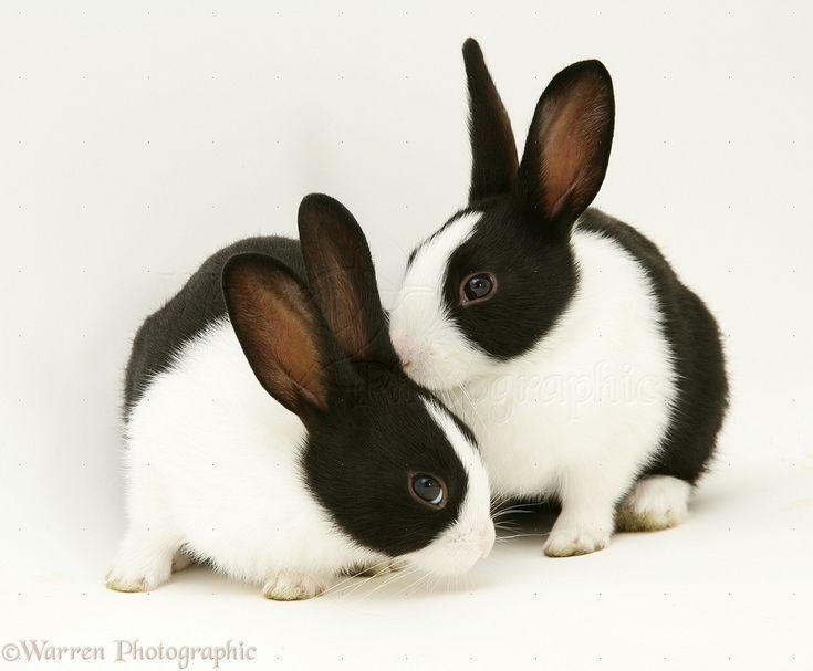 218 Best Images About Black Dutch Rabbit On Pinterest