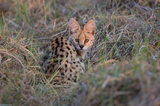 Serval are regularly seen on safari in Kafue's Busanga Plains