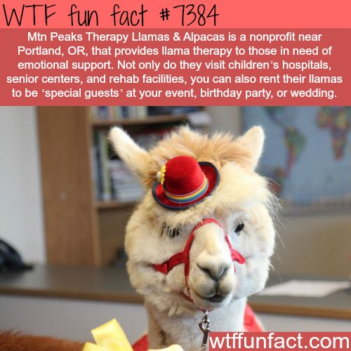 Nonprofit in Oregon uses llamas to provide emotional support… - WTF fun facts