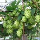 Time to start planning your garden.  Right now is the time to pre-order hop rhizomes.  Hop Rhizomes - Grow your own hops. 2018 Rhizomes are now available for pre-order. Orders begin shipping usually in April.https://www.austinhomebrew.com/Hop-Rhizomes_c_125.html    #homebrewing     www.austinhomebrew.com