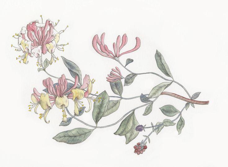 honeysuckle vine tattoo - Google Search