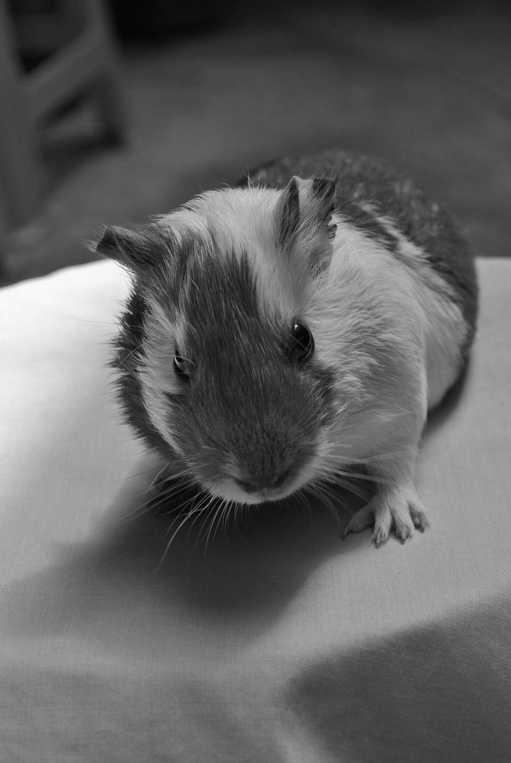 Su musculoso cuerpo y su rápido metabolismo convierten a los conejillos de Indias en unos roedores diurnos muy ágiles. Pero para estar en forma hace falta sol y aire libre. Una habitación bien ventilada, frecuentes baños de sol y una breve ducha en forma de lluvia los ayudarán a estar en plena forma
