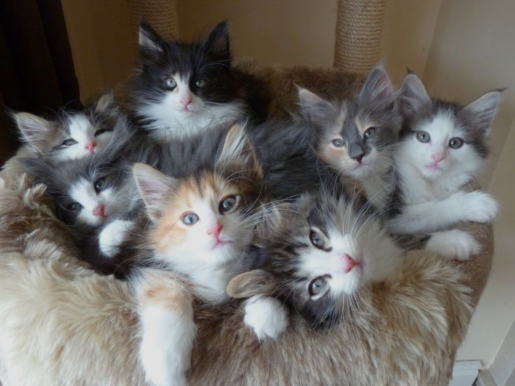 Norwegian Forest Cat Kittens | About Svalrkattens Norwegian Forest Cats
