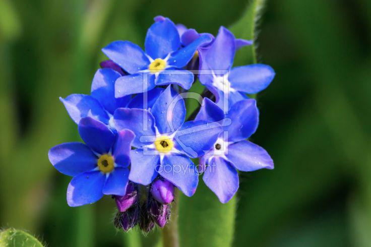 Die blaue Blüte des Vergissmeinnicht - Vergissmeinnicht, Blüte, Blume, Wald-Vergissmeinnicht, Naturfotografie - http://ronni-shop.fineartprint.de