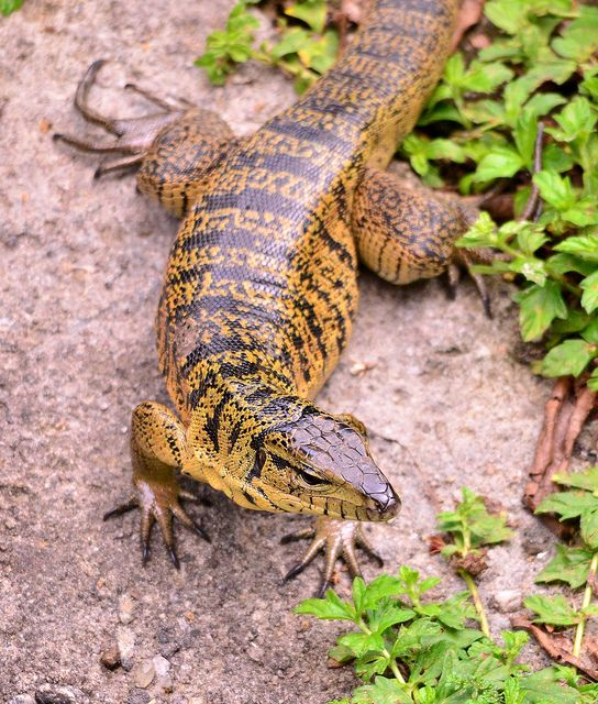 Golden Tegu Lizard at Asa Wright Nature Centre, Northern Trinidad. by One more shot Rog, via Flickr
