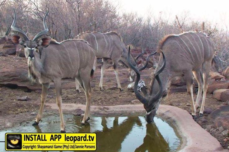 Photo gallery of Kudu at Leopard Castle! #photos #leopardtv #shayamanzi