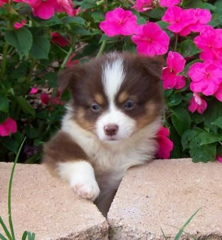 Mini Aussie Puppies