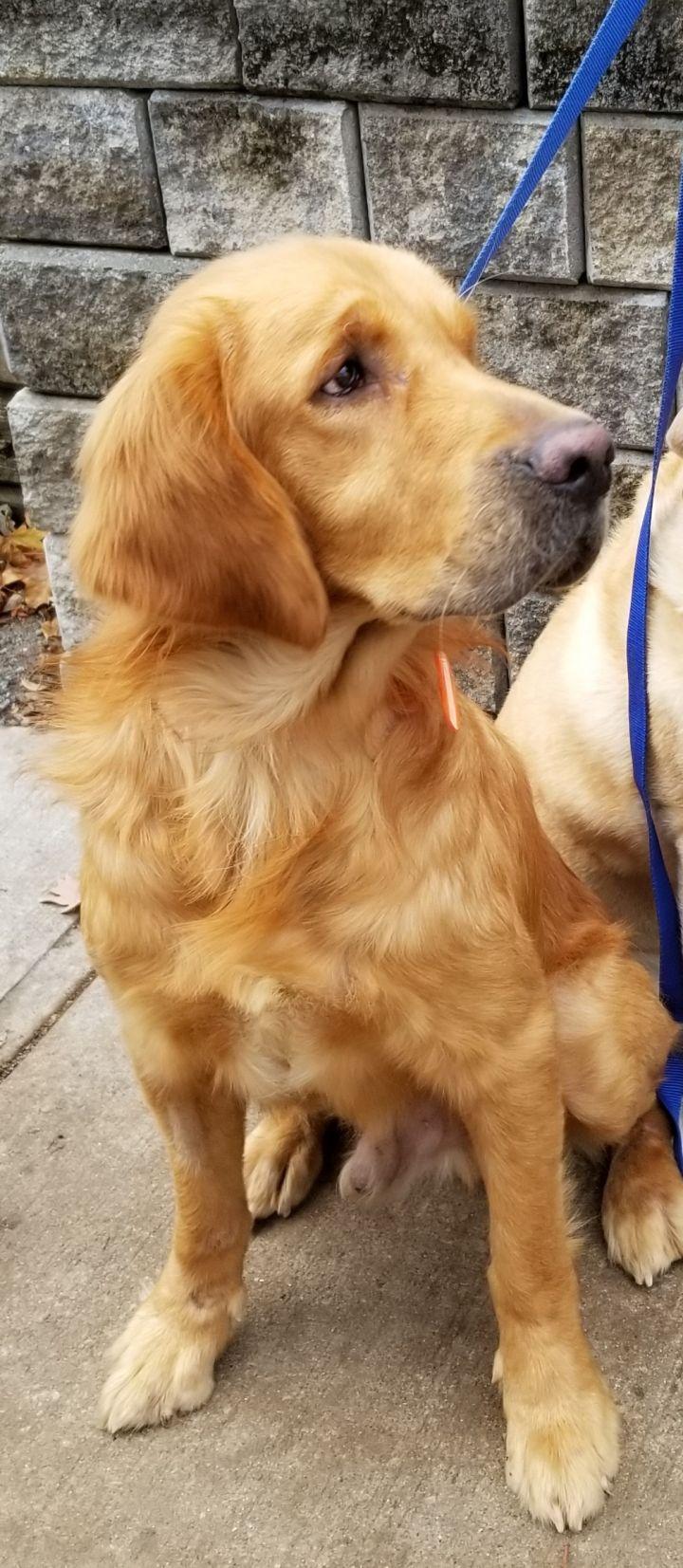 Adopt Otis On Dogs Golden Retriever Dogs Pet Adoption
