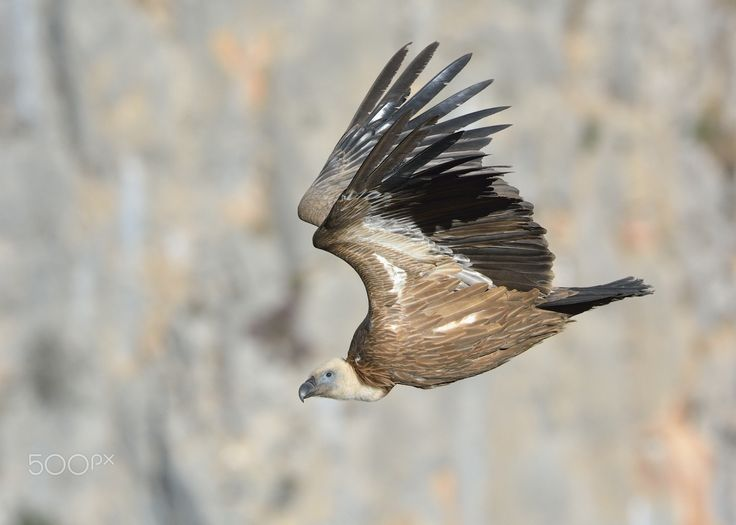 Griffon Vulture - Thank you all for paying attention on my work, your likes and your comments