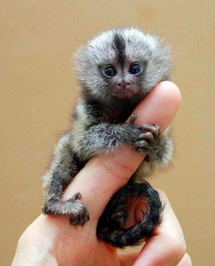 Finger Monkey | So Little, So Cute, Pygmy Marmoset! Also Known As Finger Monkey.