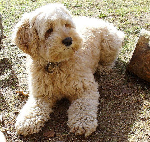 Cockapoo (Cocker Spaniel and Poodle cross breed dog) oh