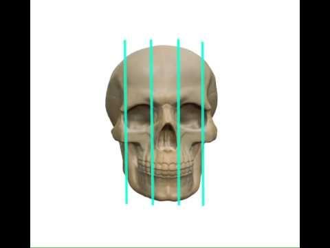 пропорции черепа