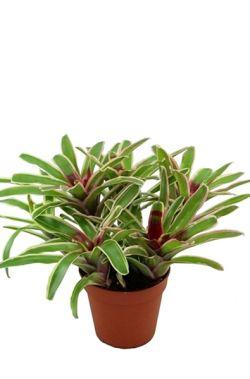 nidularium fireball | Nidularium fireball bont  De nidularium fireball, ook bekend onder de naam Neoregelia, is een tropische kamerplant. In het hart van de bloemen vormen zich rode bladeren die uitlopen naar bonte bladranden. Het schijnt dat deze felle rode kleur vlinders en kolibries lokt zodat de plant bestoven kan worden.  De Nidularium komt oorspronkelijk uit Zuid-Amerika en staat in de huiskamer graag op kamertemperatuur. Kan tot wel 5/6 maandoen bloeien waarna de hoofdrozet zal…