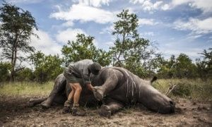 Rhino poaching in South Africa at record levels following 18% rise in killings