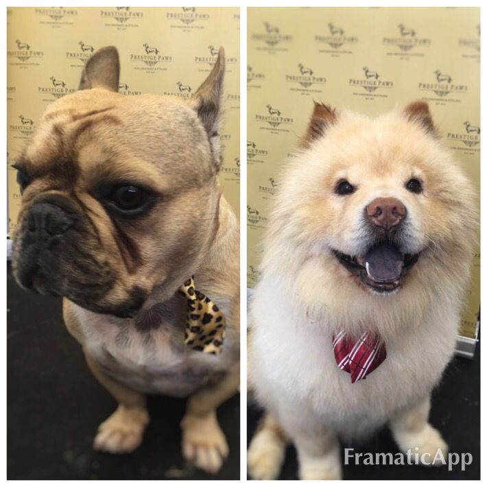 Meet Beau the Frenchie and Tao the Chow Chow