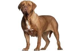Afbeeldingsresultaat voor bordeaux dog