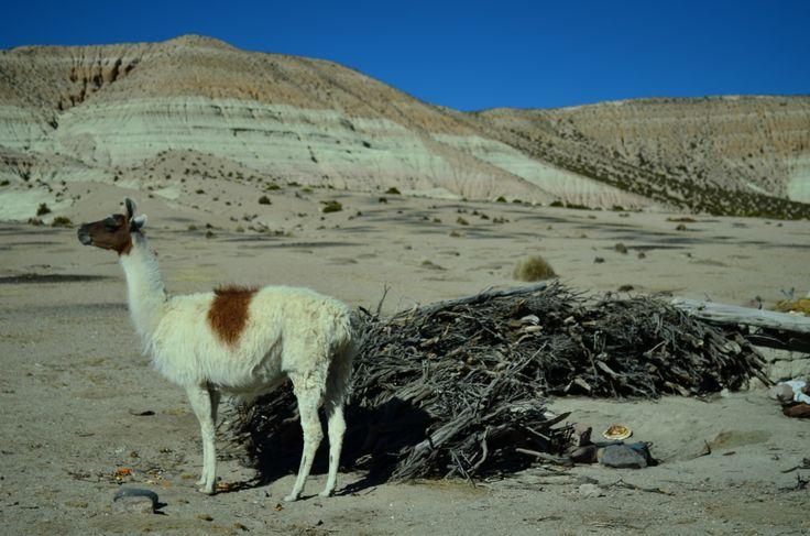 Lauca Vilaque, Reserva Nacional Las Vicuñas, Parque Nacional Lauca, comuna de Putre. Chile.