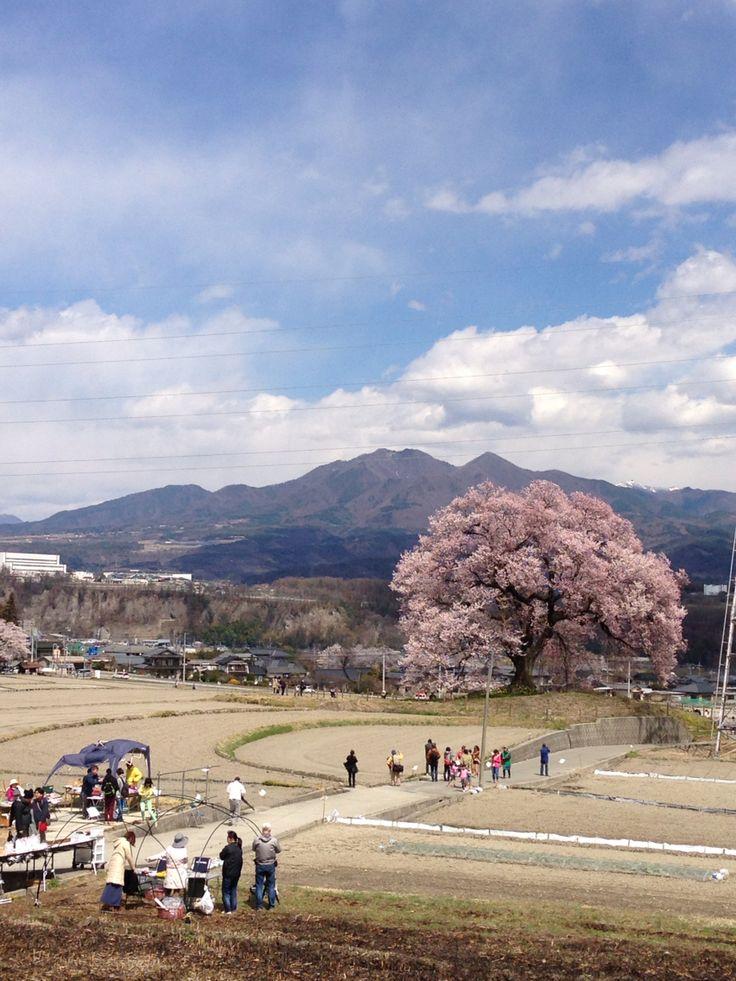 #日本の風景 #桜 #JAPAN #桜
