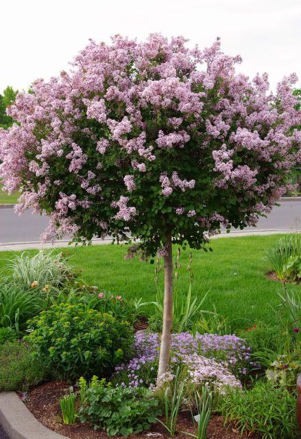 Dwarf lilac pruned into tree form