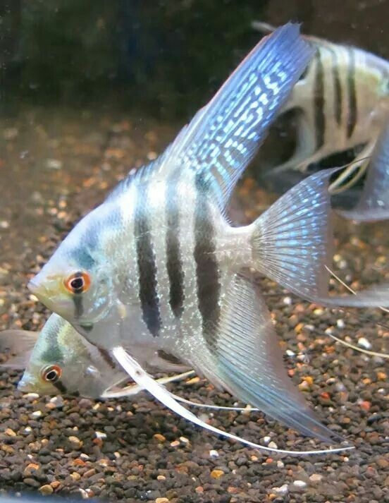 1000 ideas about angelfish on pinterest discus fish for Live discus fish for sale