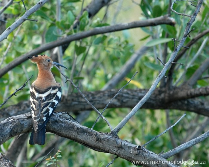 Birds galore at Hluhluwe-Imfolozi game reserve! This is the African Hoopoe, named because of its call.