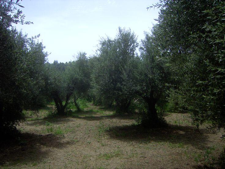 Our Olive Grove, Krestena ilias, Greece