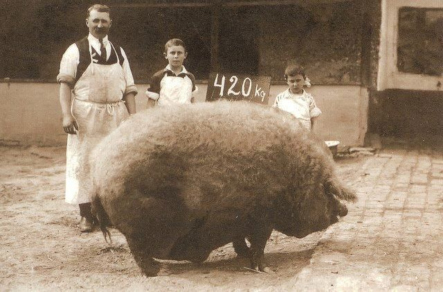 """Mangaliță de 420 Kg (926 lbs.), vintage photo (Mangalitsa belongs to European unimproved lard-type breeds that are descended directly from wild boar populations. The Mangalitsa pig is unusual as it grows a hairy 'fleece', akin to that of a sheep. The breed's popularity has declined and it is now regarded as a """"rare breed; Source text Wikipedia)."""