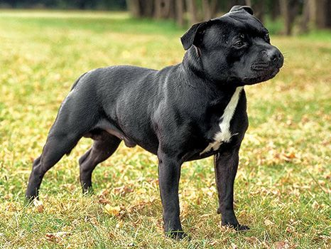 What's the Difference Between the Staffordshire Bull Terrier and the Bull Terrier | Modern Dog magazine