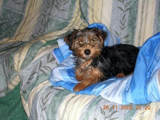 Yorkshire Terrier Abie ma chienne