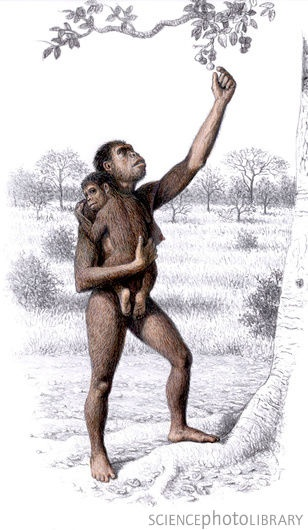 Female Homo habilis  First human species evolved in Africa. The first maker of stone tools.